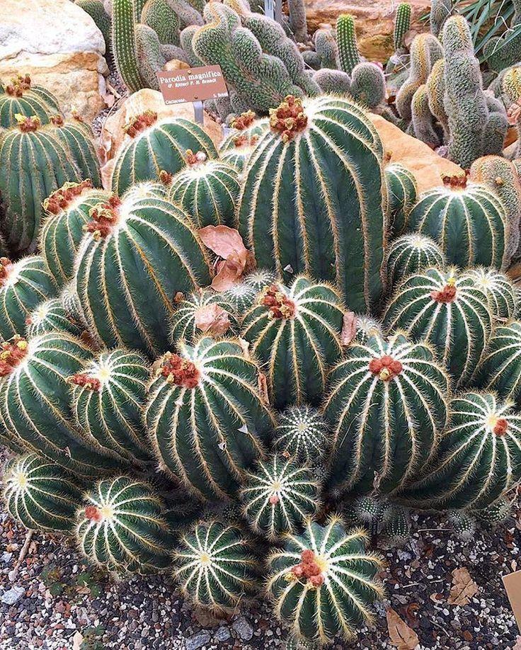 Notocactus magnificus (Parodia magnifica)