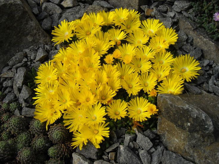"""Ice Plant Seeds """"Gold Nugget"""" Very Cold Hardy Succulent Ice Plant, Excellent for containers or rock gardens."""