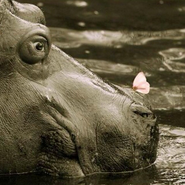 Butterfly lands on Hippos Nose : )