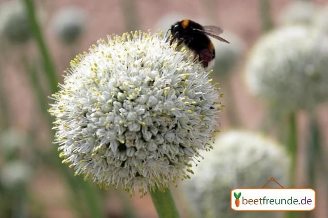 Zwiebeln gehören nicht nur in den Nutzgarten.  Sie sind eine tolle Abwechslung und auch Nützlinge, wie diese Quedlinburger Hummel werden von den schönen Blüten angezogen!