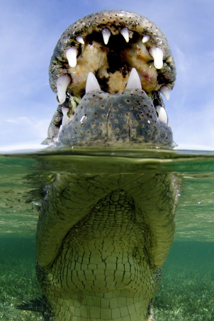 Andy Murch led two expeditions to Banco Chinchorro to capture incredible underwater images of American crocodiles with full sets of menacing teeth.