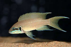 tanganyika cichlids (fairy cichlid) breeding group. fish.