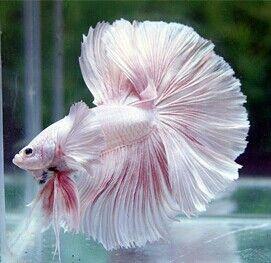 Big ears white pink OHM male
