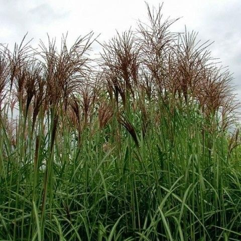 Miscanthus sinensis 39 goliath 39 ornamental grasses for Border grasses for landscaping