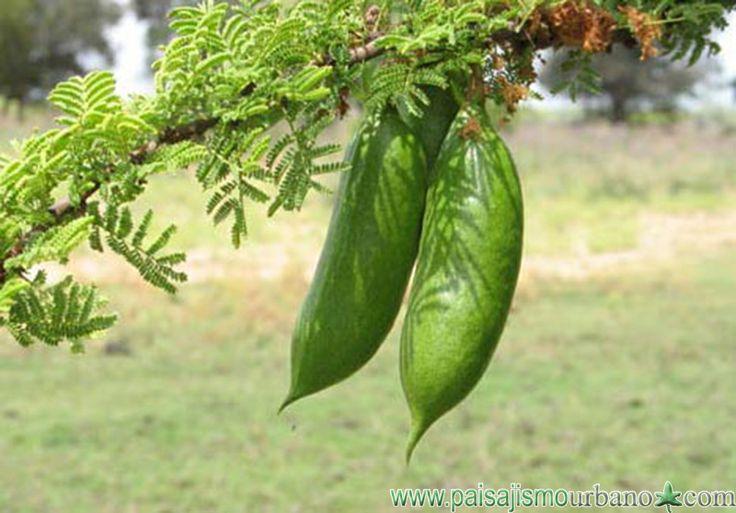 caven (Molina) Molina Familia Mimosaceae = Leguminosae = Fabaceae
