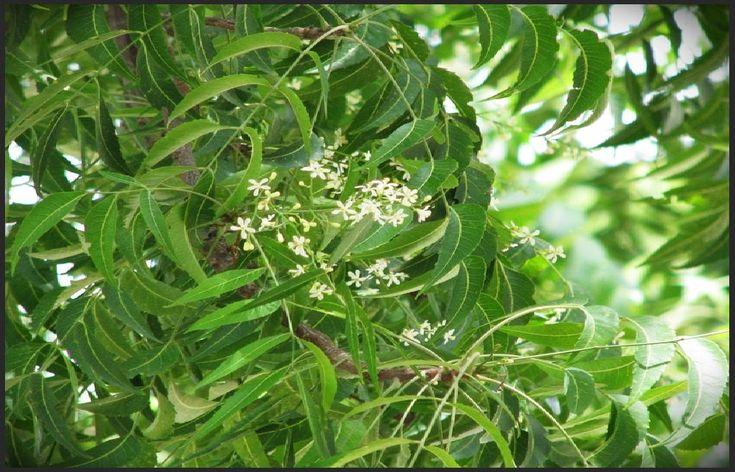 Venenos verdes - Árvore de Nim (Azadirachta indica)