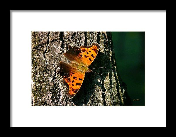 Eastern Comma Butterfly Framed Print by Christina Rollo.  All framed prints are professionally printed, framed, assembled, and shipped within 3 - 4 business days and delivered ready-to-hang on your wall. Choose from multiple print sizes and hundreds of frame and mat options.