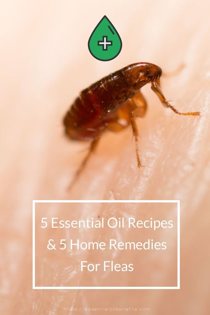 Essential Oils For Fleas How To Get Rid Of Fleas And