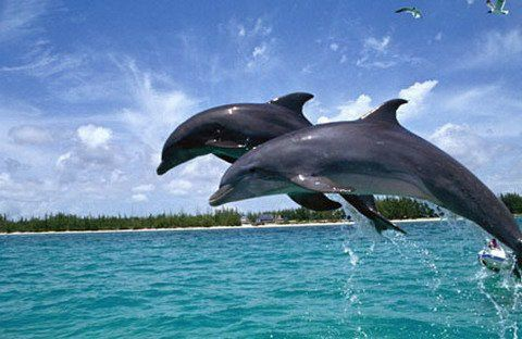 Dolphin sightings in it's natural habitat will be a cherished experience for children as well as adults. Dolphin sighting trips in Goa are organized from October to May and are indeed very enjoyable. Enjoy the thrill of sharing some time with dolphins in Goa with your family