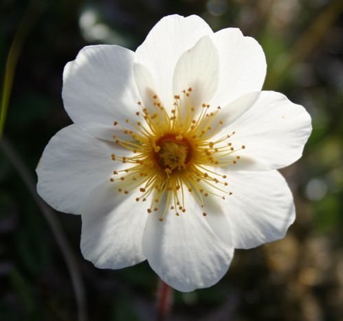 Holtasóley (Dryas octopetala) in white.  Known as the flower of Iceland and grows in subarctic climates.
