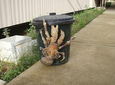 Coconut crabLargest Living, Nature, Creatures, Funny, Coconut Crabs, Things, Coconutcrab, Animal, Hermit Crabs
