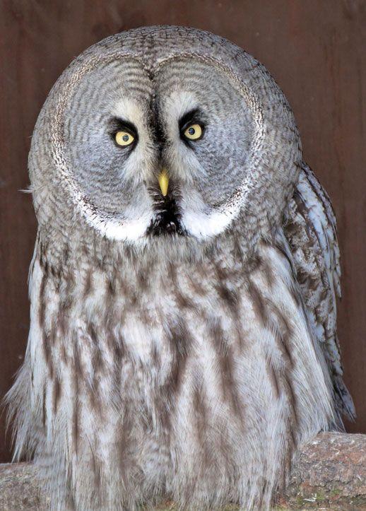 Threatened Great Grey Owl | THE SCREECH OWL SANCTUARY ...
