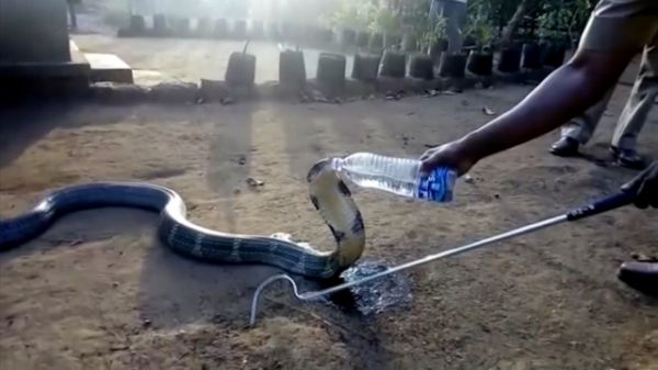 A video of a snake so thirsty that it accepted a drink of water from a local villager in India appears to show how a drought in the southwestern state of Karnataka is affecting wildlife. A cobra that emerged from its hiding spot was caught on camera slinking its way across a dry landscape and coming to a stop when presented with a plastic bottle filled with water. The strange sight continued as the reptile opened its jaws to accept a drink from the villager with the bottle.