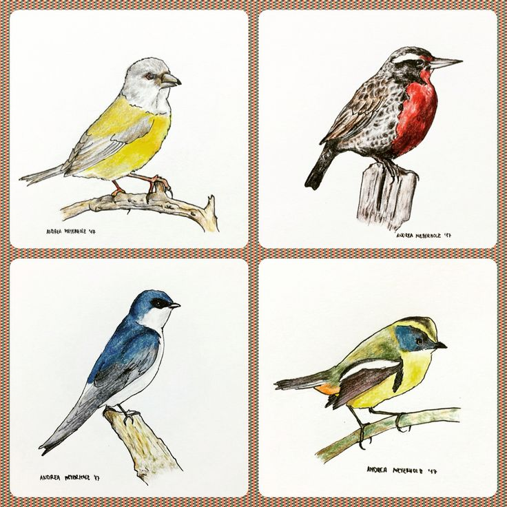 Chilean birds - color pencils and rapidograph