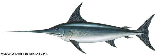 XIPHIAS GLADIUS   La alimentación de los adultos incluye peces pelágicos como el atún, barracuda, pez volador, verdel, etc. También comen calamares cuando éstos están disponibles.  Se sabe que los peces espada suelen mantenerse en aguas más profundas durante el día, mientras que a la noche ascienden a zonas más superficiales.