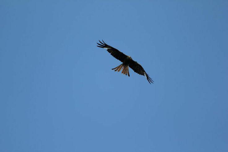 Kite over Avoca Co Wicklowm