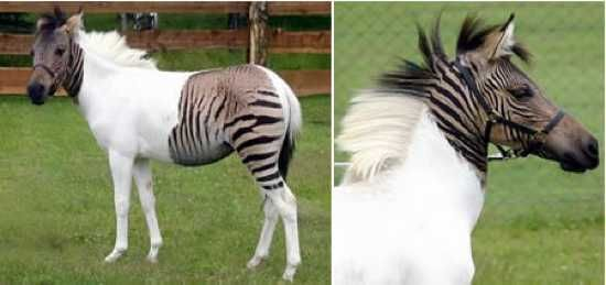 Zebroid  from male zebra crossed with female from equidae family (horse, donkey, pony).