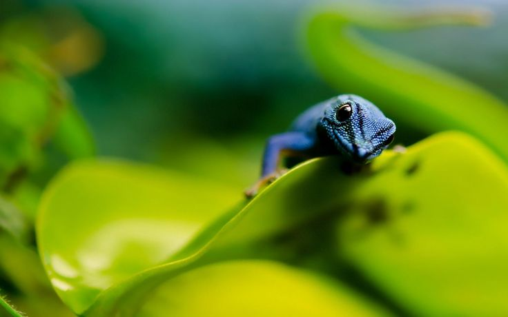 awesome blue lizard wallpaper