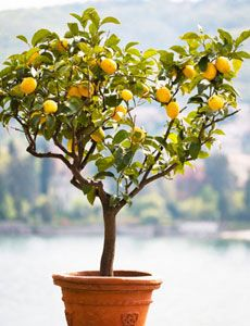 Hearty indoor plants for small spaces. Maybe it's time for a lemon tree?
