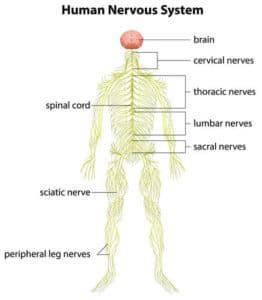 Personal injury claims for peripheral nerve injuries explained by award winning accident attorney familiar with nerve damage caused by trauma.