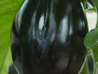 Melanzana Viserba eggplant is an unusual, long, almost black skinned fruit that is both decorative and delicious. It also crops well throughout summer in a greenhouse or sheltered site outdoors.