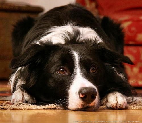 border collie love...reminds me of our sweet Sheba.