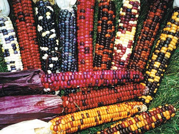 Painted Mountain Corn   Baker Creek Heirloom Seed Co This corn is the very definition of rugged beauty! These incredibly tough plants were bred in the bitter cold Mountains of Montana, they boast impressive cold hardiness, earliness, drought tolerance and they thrive at high altitudes.  Painted Mountain Corn can be eaten fresh, ground, roasted and make a highly nutritious flour for muffins, johnny cakes, tortillas and chips!