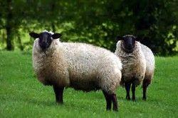 Résultat d'images pour photo de mouton