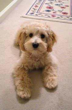 best cockapoo cut - Google Search