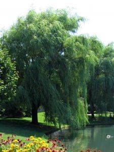 How to Grow Weeping Willow Trees