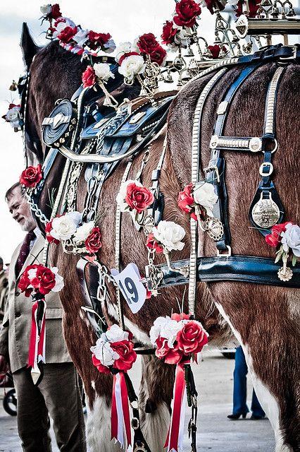 Draft horse halter class