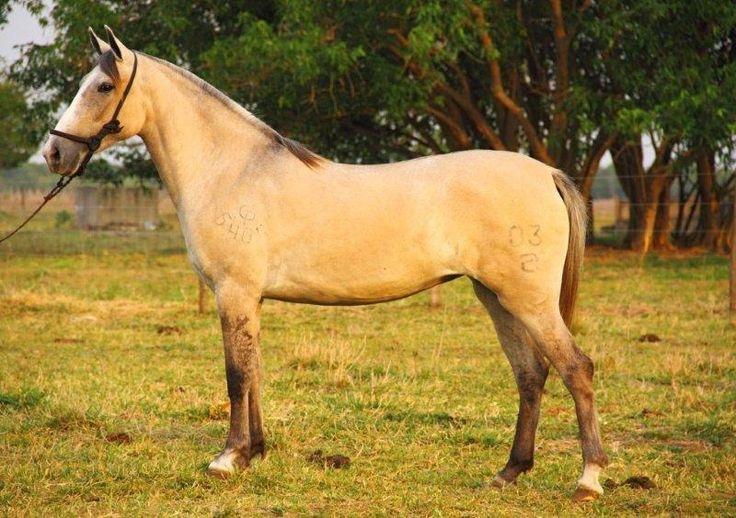 LEILÃO EVOLUÇÃO DA RAÇA - cavalo pantaneiro. Mare Zeza da rancharia