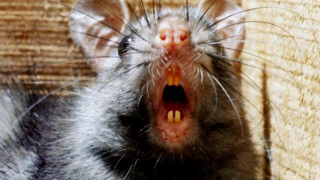 Black rat (Rattus rattus) (c) SPL