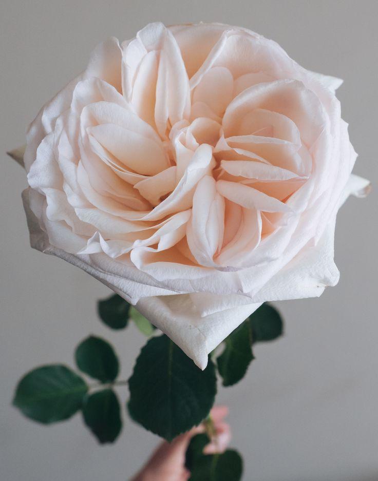White Garden Rose 102 best flowerlink - rose varietes images on pinterest | rose