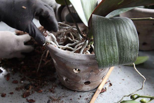 Trasplantando las orquídeas paso a paso