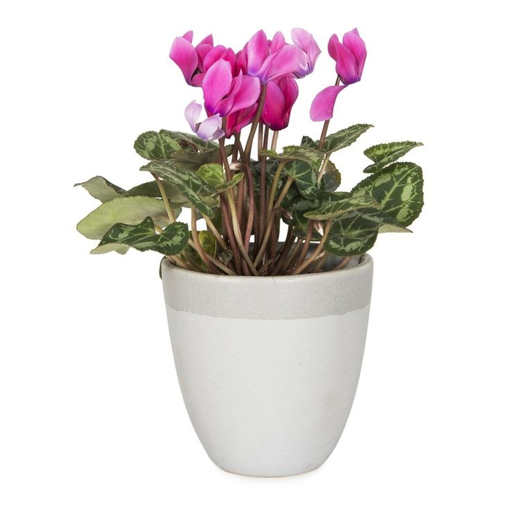 Mini Cyclamen in Ceramic