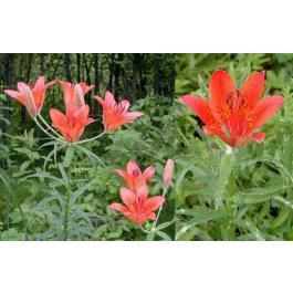 Lilium Pensylvanicum (Lily Pensylvanicum)