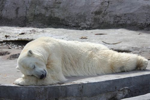 sweet dream by Person Behind the Scenes on Flickr.Wild Animal, Bears Bears, Bears Blog,  Polar Bears, Teddy Bears, Sweets Dreams, Ice Bears, Sweet Dreams, Adorable Animal