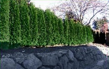 These easy-to-grow hedge trees are perfect for tight areas. Its shimmering emerald color and disease resistance make it an extremely popular evergreen hedge.     Your best choice for a medium-sized privacy screen... just plant every 3 ft. for a tidy, neat hedge that never needs trimming.