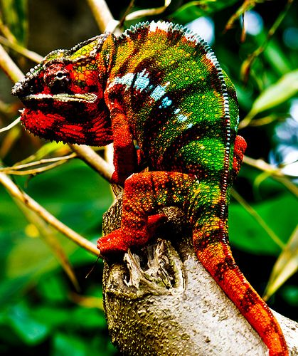 Colorful Lizards | Colorful Lizard from Rain Forest