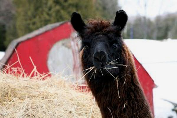 Is Llama Manure Good For Gardens