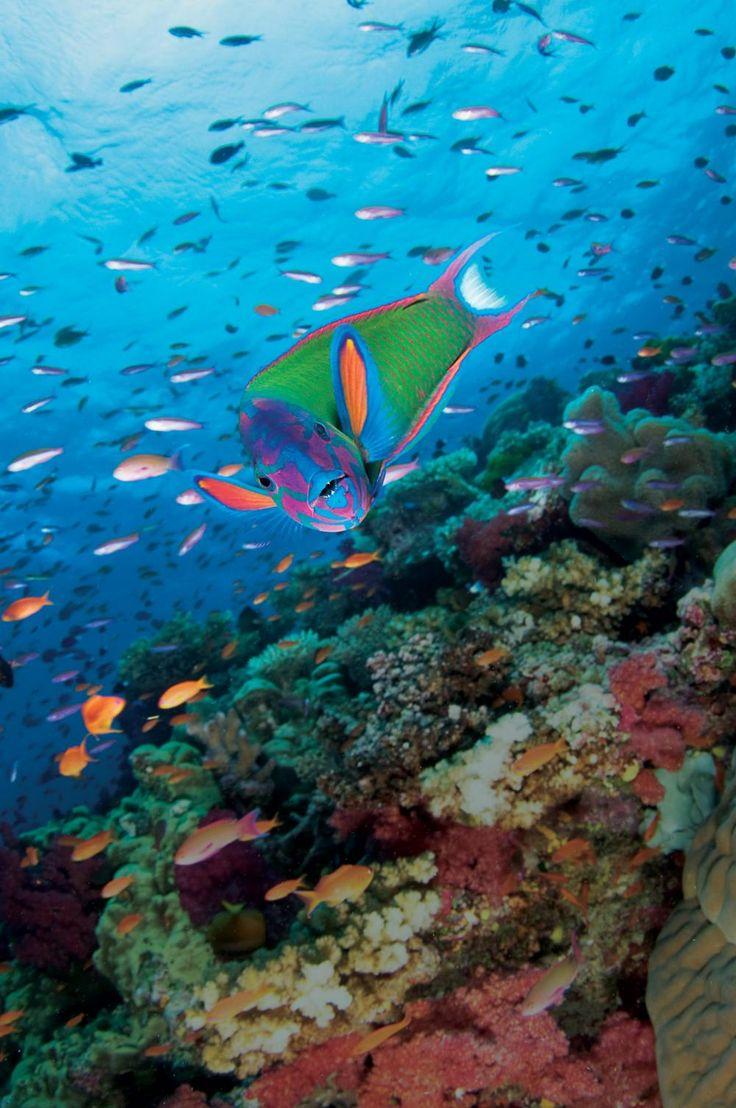 Electric Wrasse - Vibrant and valuable underwater life of Fiji