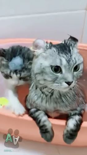 Two Lovely Cats In A Basin Of Water.