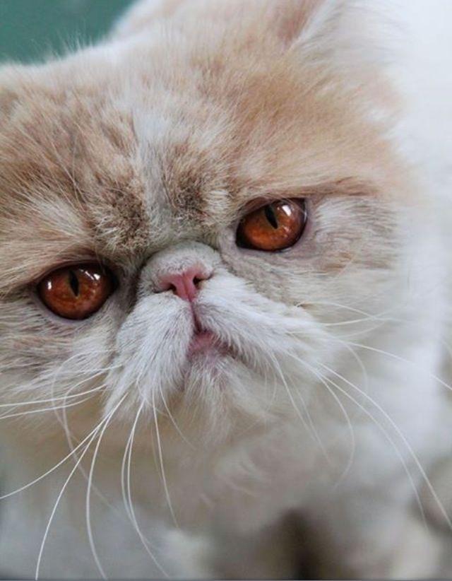 Persian cat/ Cream & white pig