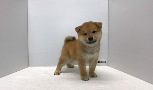 Shiba Inu puppy for sale in LOS ANGELES, CA. ADN-43165 on PuppyFinder.com Gender: Female. Age: 8 Weeks Old
