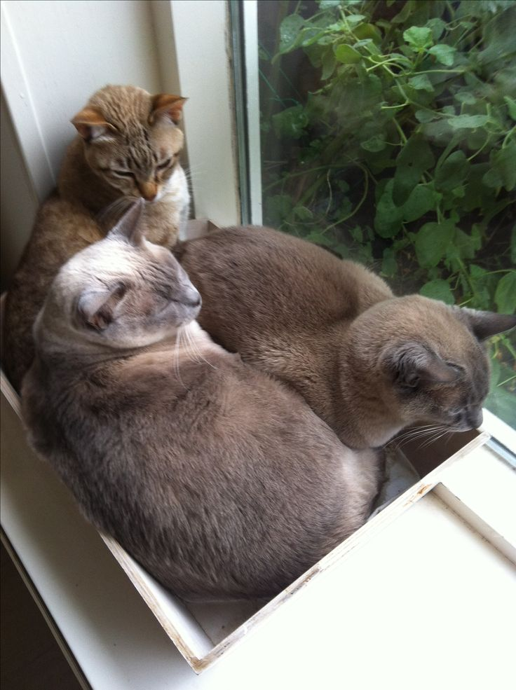 Some of my Tonkinese cats