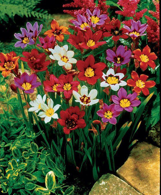 Sparaxis Mix  Met de Sparaxis Mix is elke tuin een kleurrijk feest! De zigeunerbloem uit het zuidwesten van de Kaapprovincie wordt vanwege haar vrolijke kleuren dan ook wel eens harlekijnbloem genoemd. De bloemen zijn wit tot donker purper stervormig en prachtig gevlekt. U kunt genieten van meerdere bloemen per steel die als u ze in het voorjaar plant van juli tot augustus volop in bloei staan.  EUR 4.95  Meer informatie