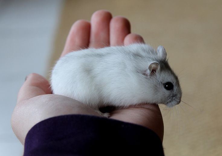 Known as the White Dwarf Hamster, Djungarian Hamster, Siberian Hamster or Russian Winter White Dwarf Hamster.