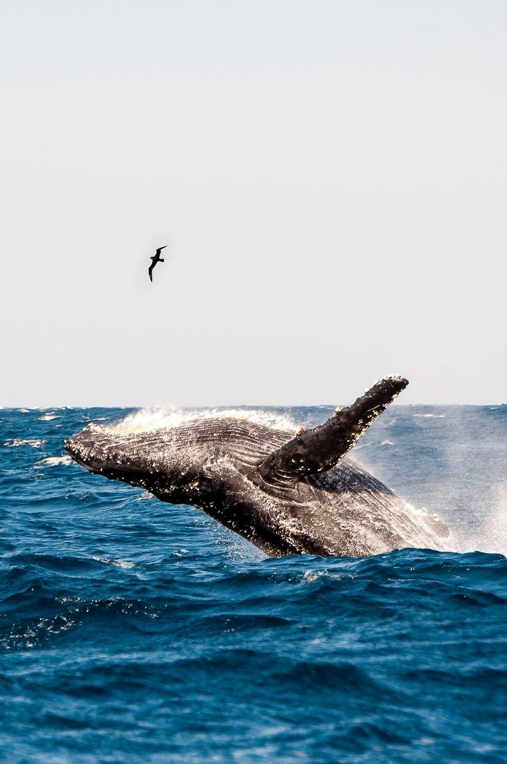 92 best whale images on pinterest animals whales and whale watching