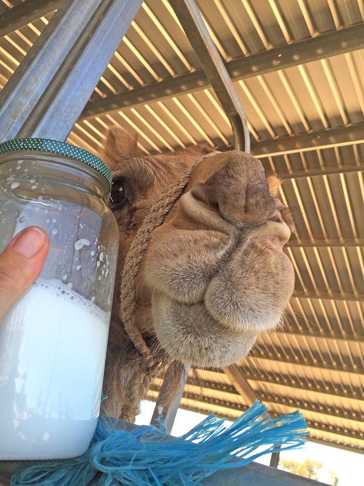 First lot of camel milk that we hand milked #camel # milk #travel #australia